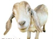 Bakra Eid Wallpapers of Bakra 2013