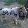 Raju Rocket for Eid ul Azha 2013