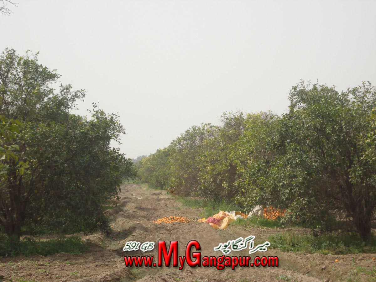 GANGAPUR (BAGH)FRUIT GARDEN Latest Photos
