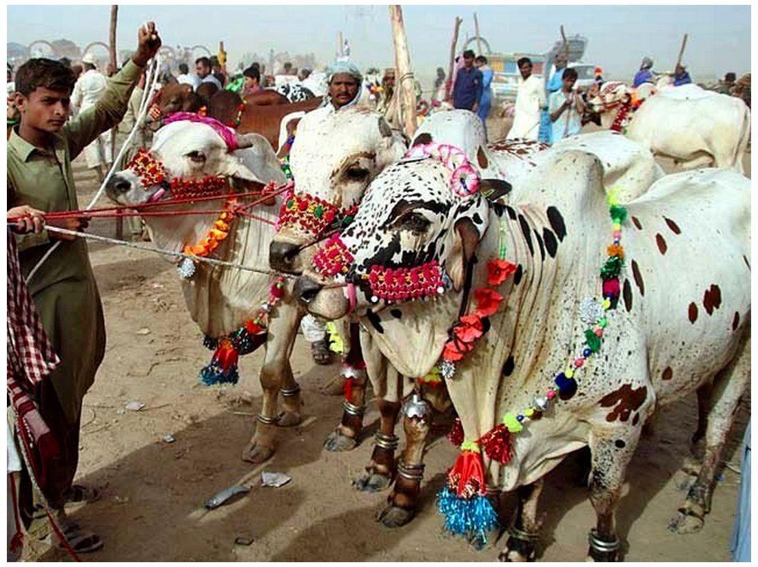Biggest Bakra & cow mandi - faisalabad