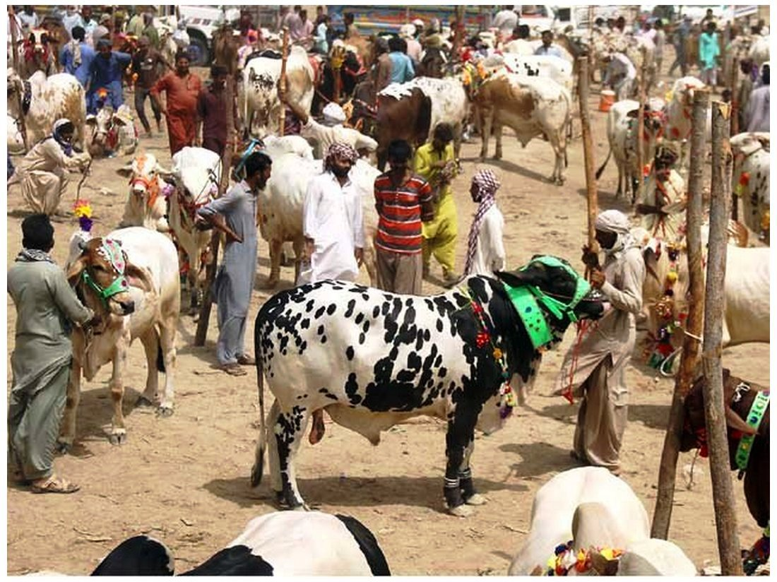 Cow Mandi ( Bakra Eid in pakistan ) Photos download