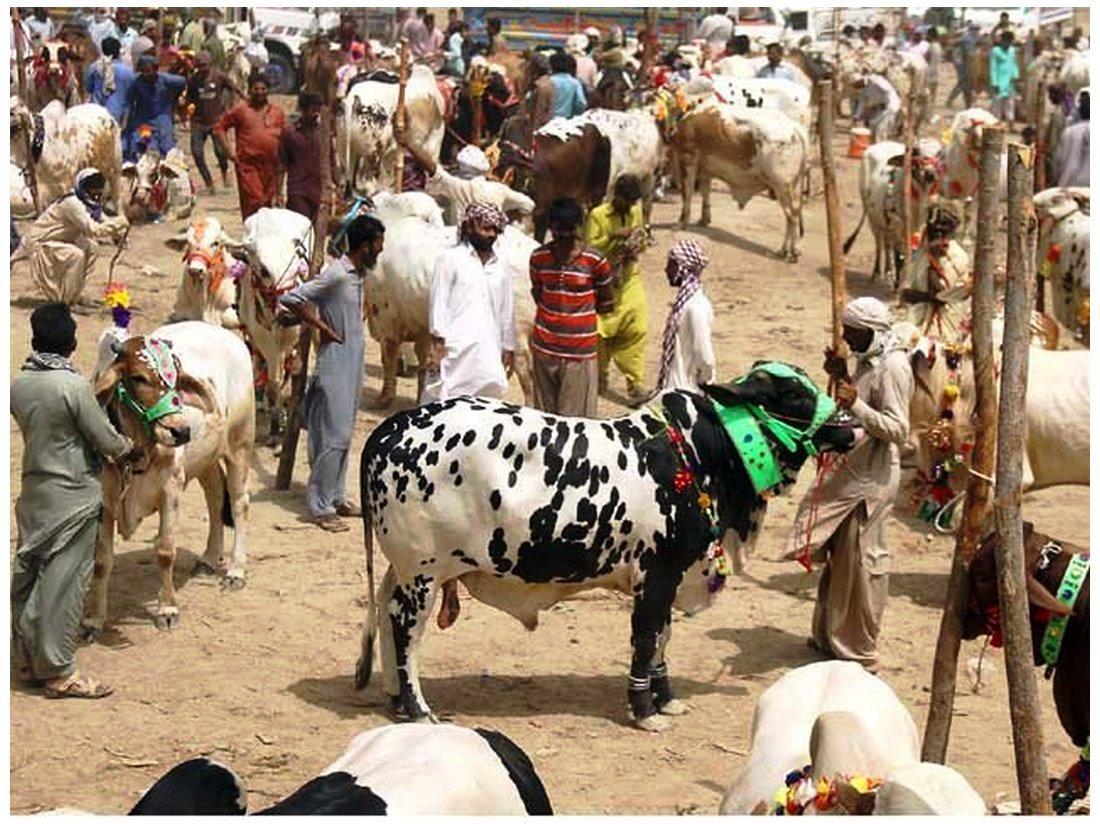 Cow Mandi ( Bakra Eid in pakistan ) Photos download