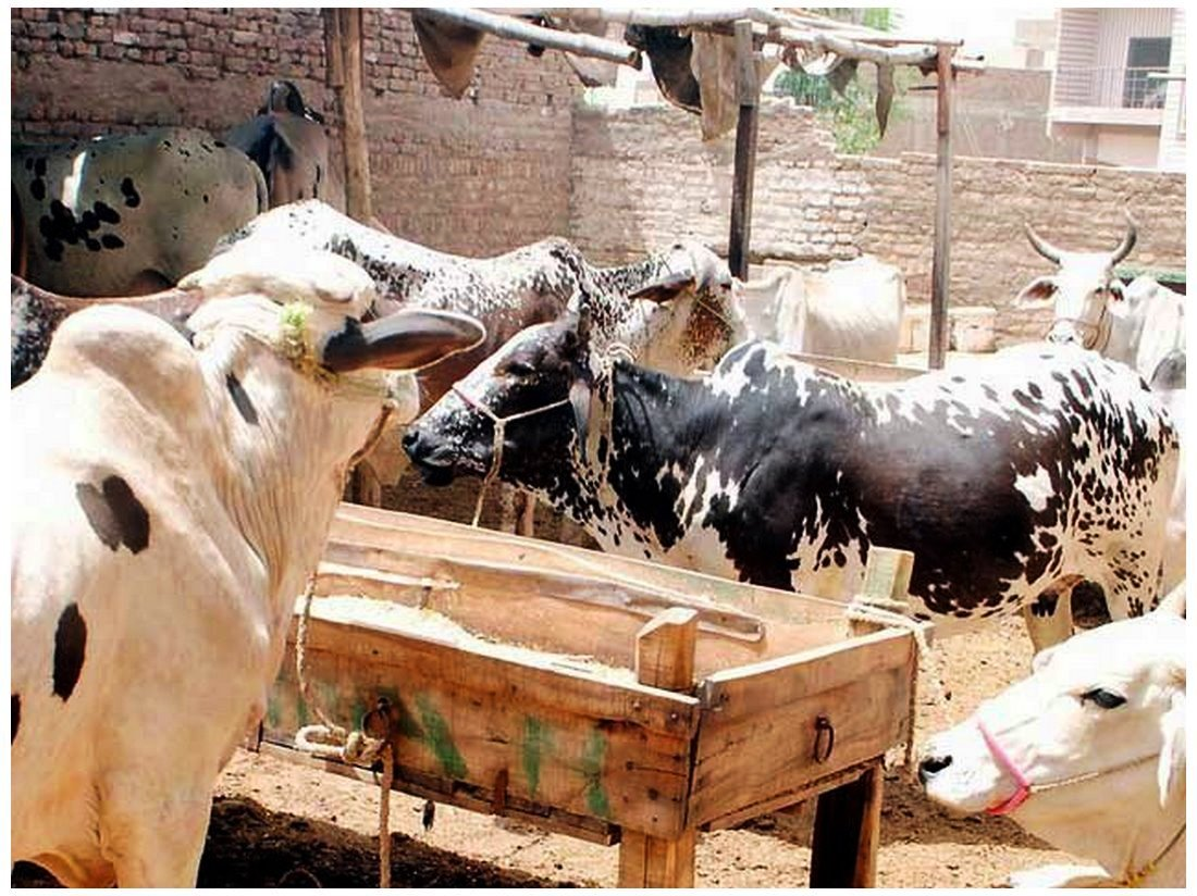 Cow Mandi Of Islamabad Biggest animal for Eid images