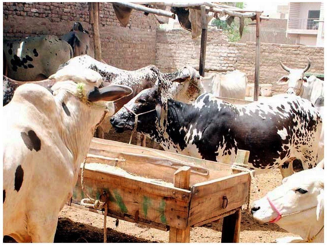 Cow Mandi Of Islamabad Biggest animal for Eid images