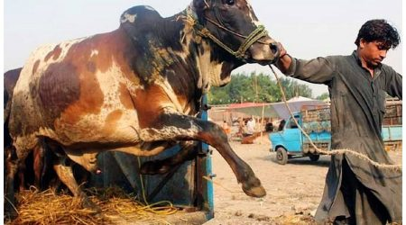 Karachi Cow Mandi 2018 New Pictures