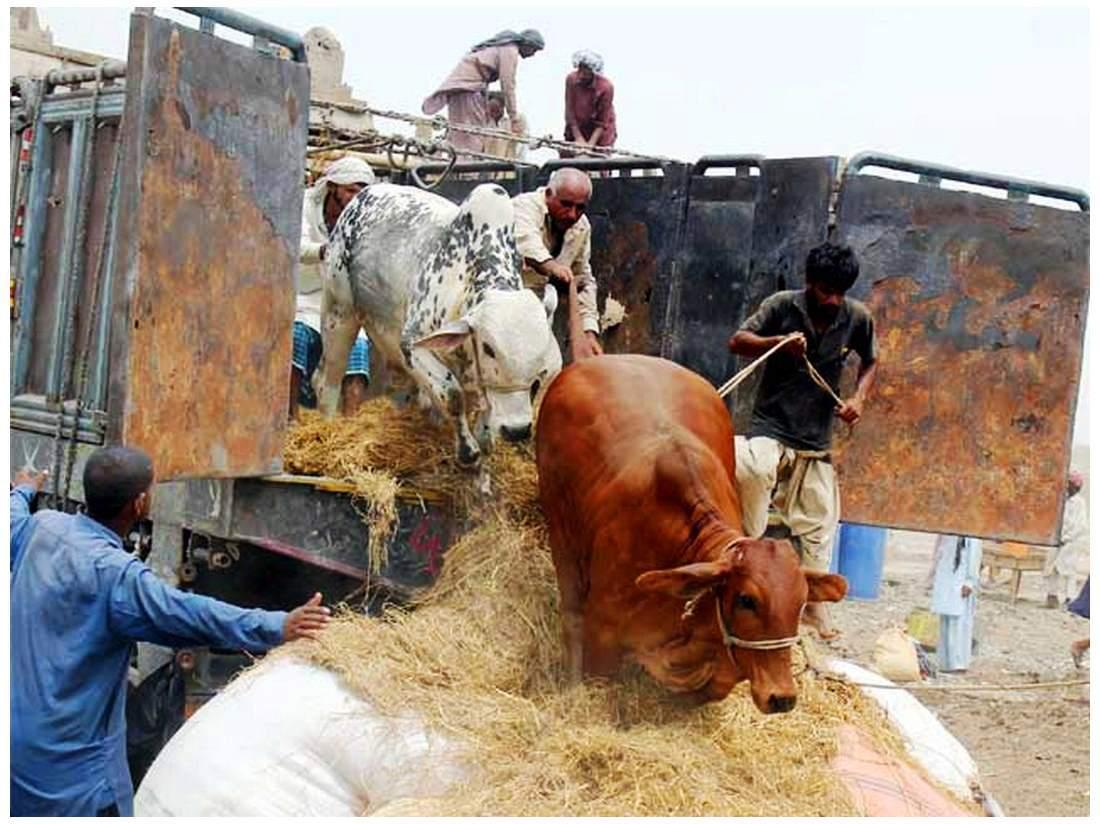 Karachi Sohrab Goth Cow Mandi Bakra Eid In Pakistan
