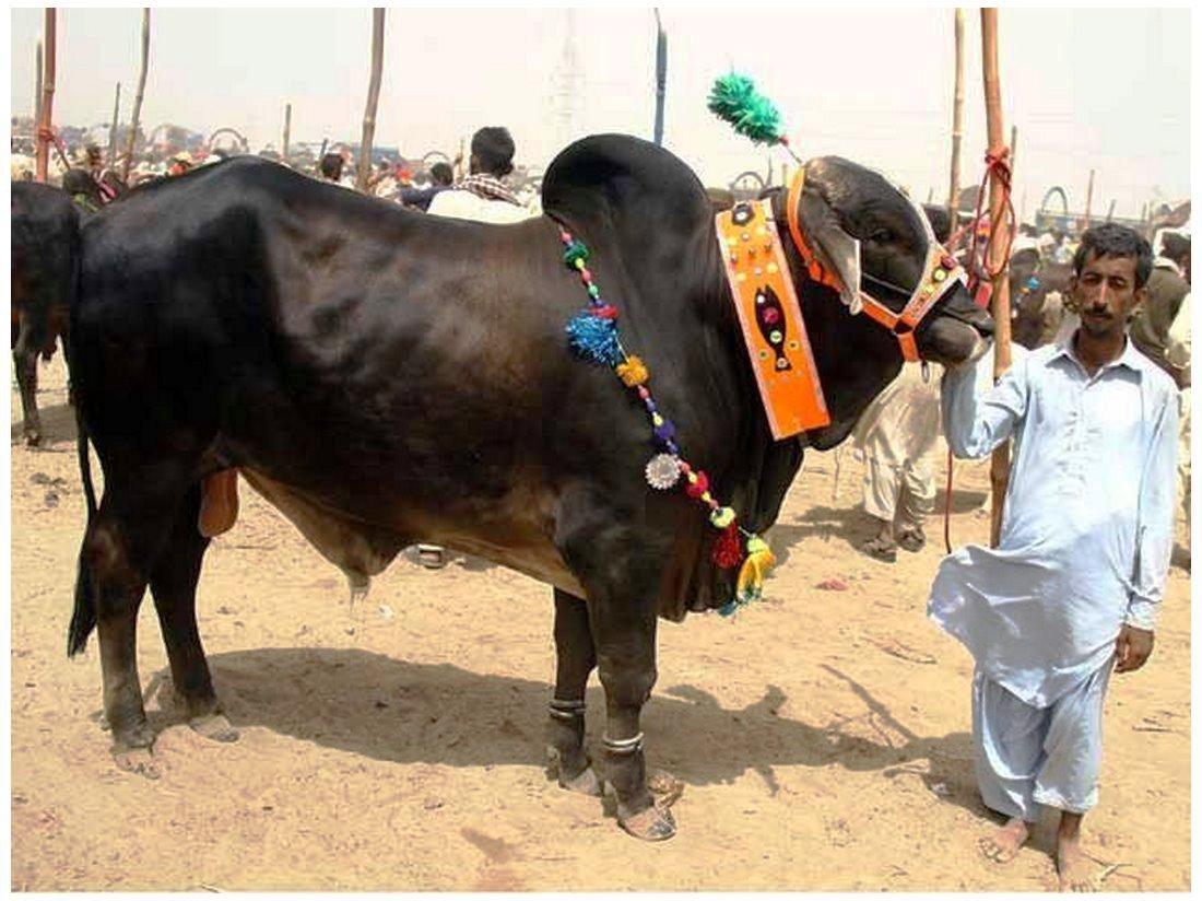 Qurbani Cow Pics in Pakistan