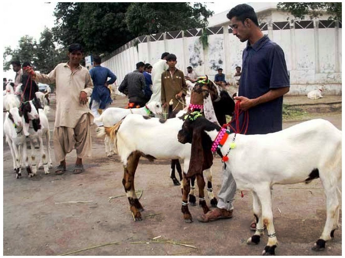 best Bakra Mandi Pakistan images download