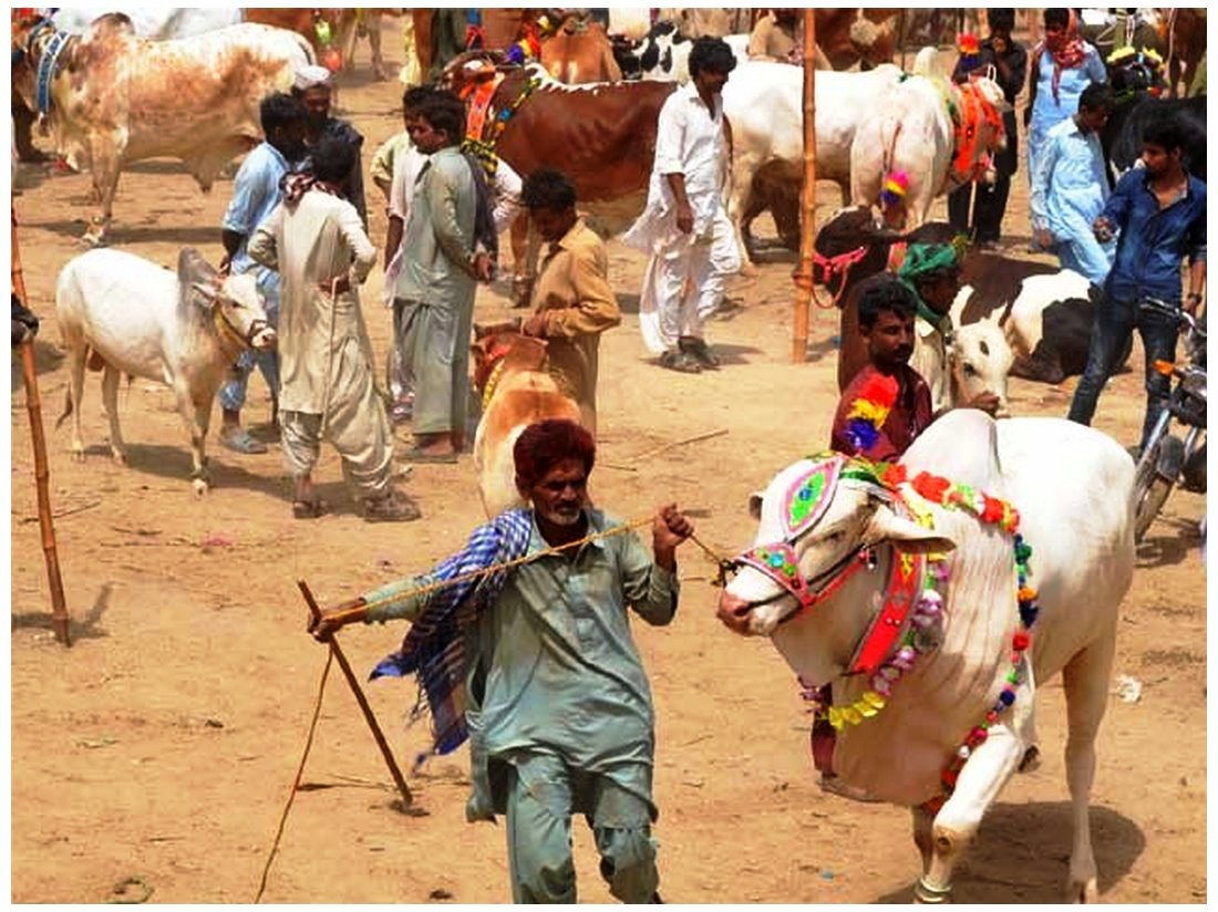 Download best Cow Mandi Pakistan images